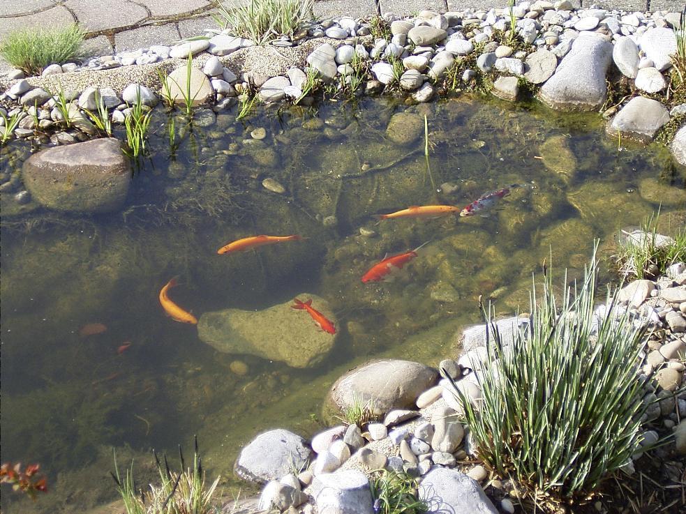 Unser kleiner gartenteich for Fische kleiner teich